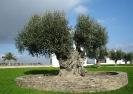 Олива-маслина